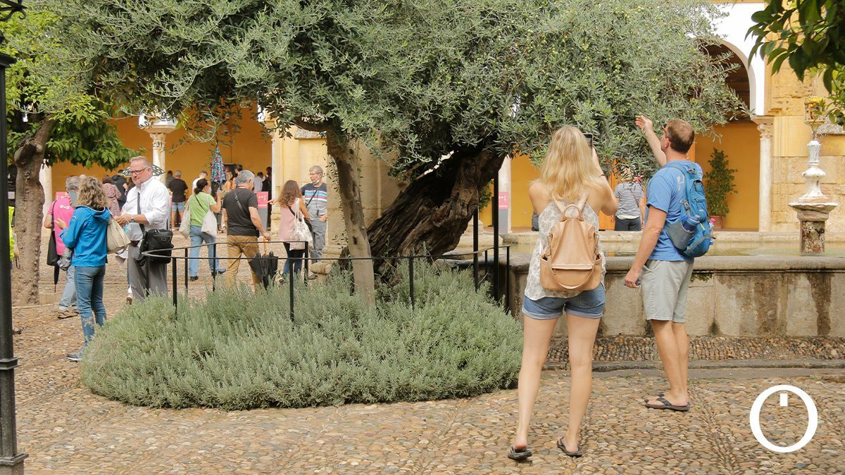 Olivo centenario del Patio de Los Naranjos de Córdoba