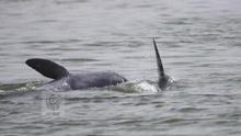 Aumenta por primera vez la población del amenazado delfín del Mekong