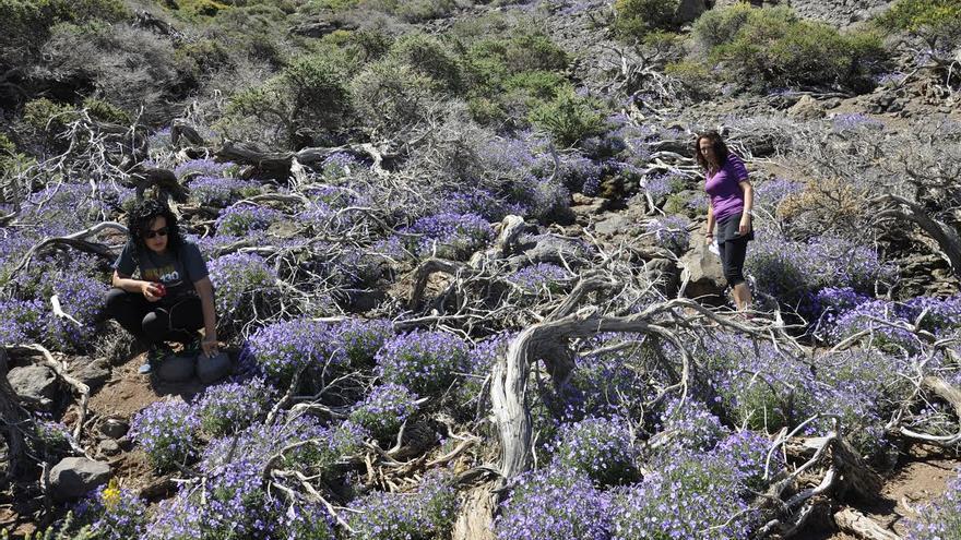 En la imagen, violetas (Viola palmensis) en las proximidades del 'Monumento al Infinito' de César Manrique en el municipio de San Andrés y Sauces. Foto: Ángel Palomares.