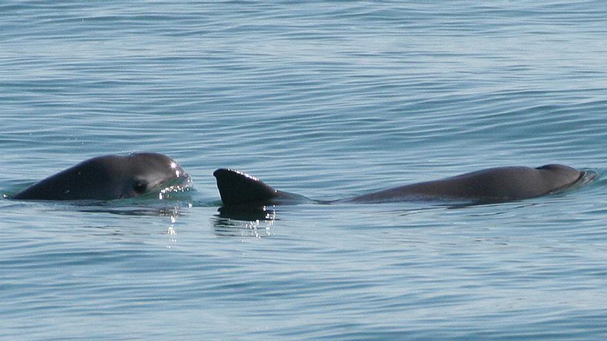 Un ejemplar de la 'vaquita marina'
