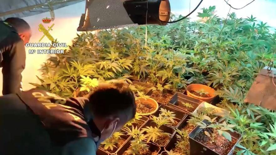 Desmantelado un cultivo de 717 plantas de marihuana en una vivienda en Moya