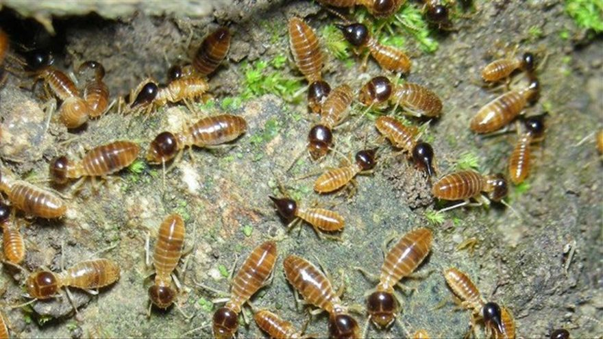 El insecto termita americana, una especie exótica e invasora introducida en Tenerife al menos desde 2010
