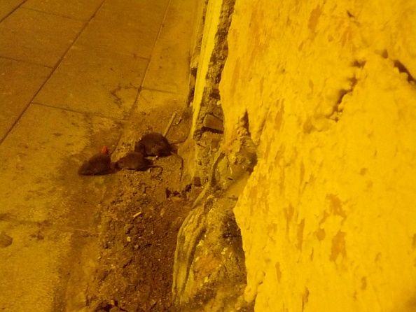 Ratas en el número 48 de la calle San Bernardo | Foto: Somos Malasaña