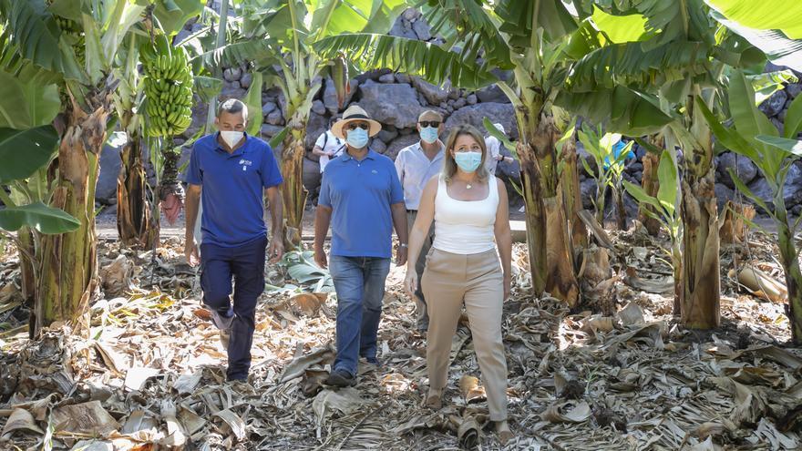 El ICIA conserva la mayor colección de germoplasma de platanera y mango de España para la mejora de la producción agraria