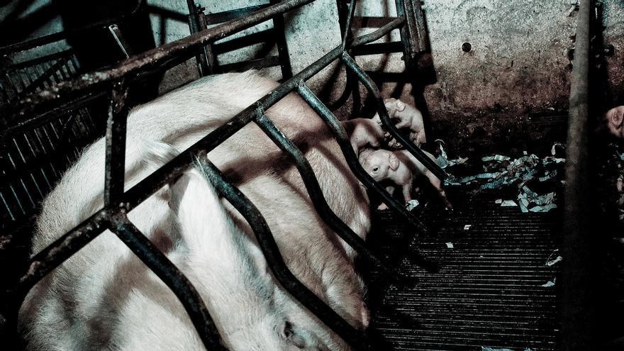 En las jaulas de gestación las cerdas apenas pueden incorporarse. Foto: © Jonás Amadeo Lucas / The Animal Day