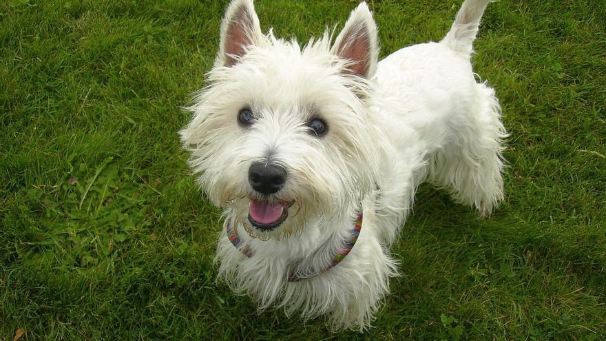 Un ejemplar de west highland terrier.