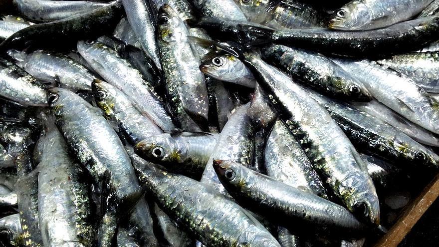 La sardina en el Atlántico está en situación crítica.