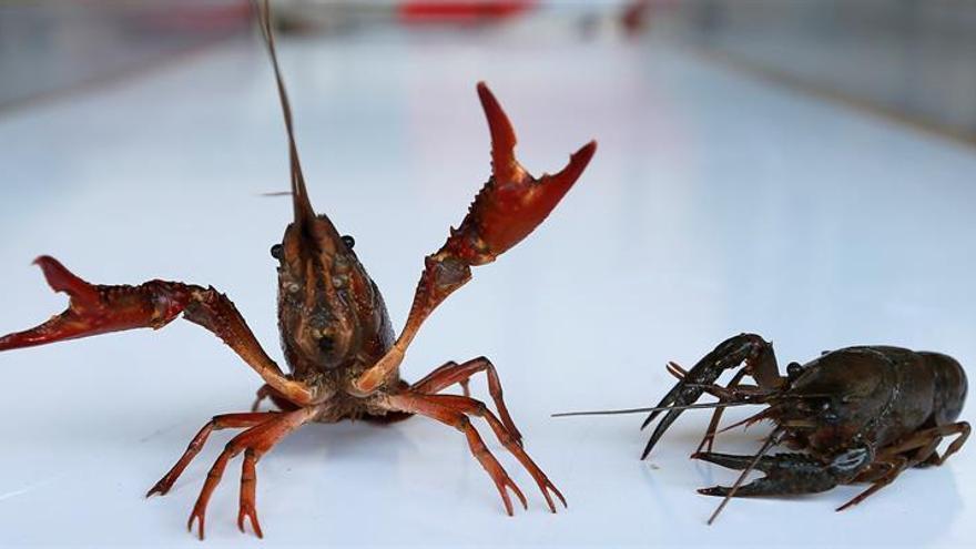 La prohibición del cangrejo rojo americano moviliza el Bajo Guadalquivir