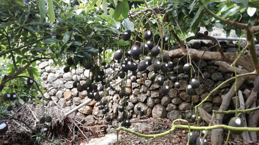 Planta clonal de aguacate en el Vivero Las Breñas (La Palma).