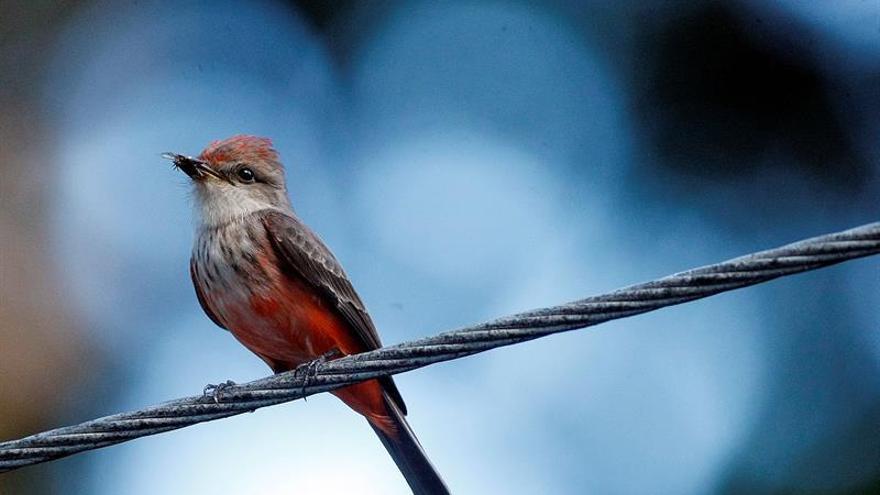 Las hembras de las aves prefieren los núcleos grandes para encontrar pareja