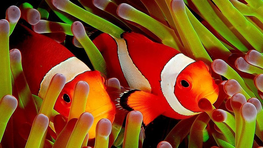 La diversidad marina es enorme, desde pequeños peces de arrecife y tortugas hasta grandes peces pelágicos. Wikimedia Commons.