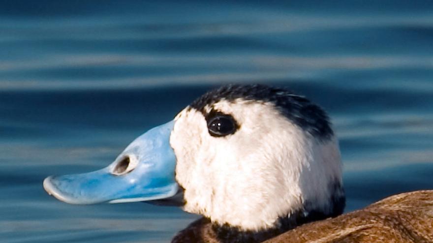 Contabilizan 61.000 parejas reproductoras menos de aves acuáticas en Andalucía por malas condiciones del año hidrológico