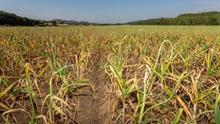 El sector del ajo espera una buena campaña debido al incremento del consumo por la pandemia