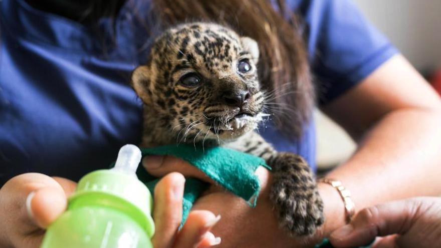 Fotografía sin fechar cedida por Serfor que muestra a una persona mientras cuida a una cría de jaguar. Dos crías de jaguar, conocido como otorongo en Perú, de sólo dos semanas de nacidas fueron rescatadas por el Servicio Nacional Forestal y de Fauna Silvestre (SERFOR) de una casa en la selva central de la región peruana de Junín, dado que se trata de una especie amenazada por el tráfico ilegal de fauna.