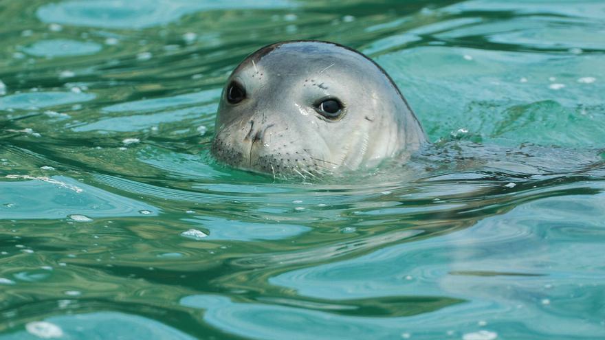 Hembra adulta de foca monje. | M. A. Cedenilla