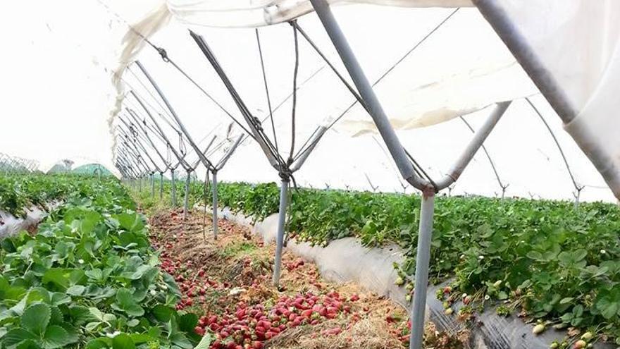 Fresas tiradas en una plantación de Lepe (Huelva).
