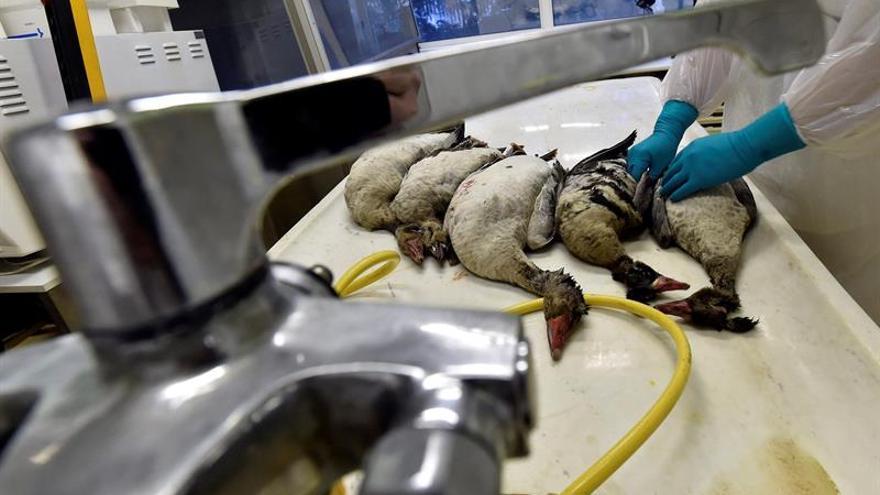Taiwán sacrifica cerca de 7.000 pollos para detener un brote de gripe aviar