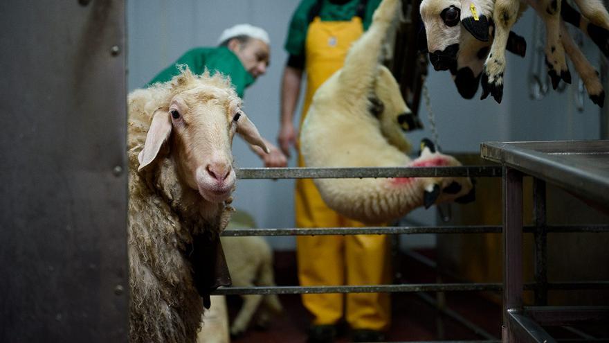 En algunos mataderos se utilizan ovejas guía para conducir a los corderos hasta la zona de matanza.