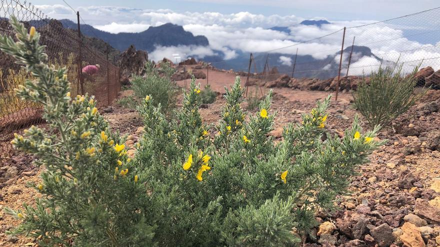 Plantas de Genista benehoavensis plantadas el 2017 en una parcela experimental situada en los alrededores  del aparcamiento del Roque de Los Muchachos y márgenes del sendero del Espigón del Roque.