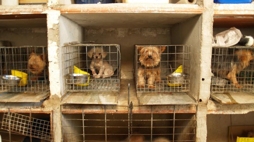 Criadero ilegal en la Comunidad de Madrid, donde el Seprona y la FAPAM rescataron 323 perros. ©Justicia Animal