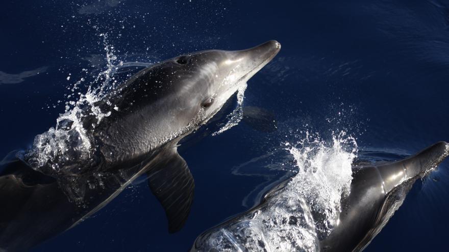 Delfines en aguas de Canarias (FUNDACIÓN BIODIVERSIDAD)