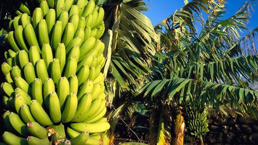 El Gobierno de Canarias abre el plazo para pedir la ayuda a los productores de plátano con Indicación Geográfica Protegida