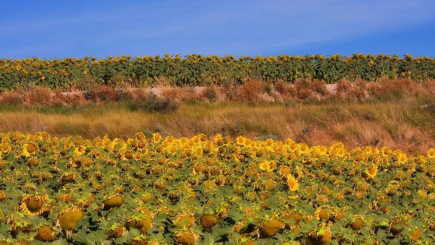 Campos de girasoles en La Bureba, en Burgos
