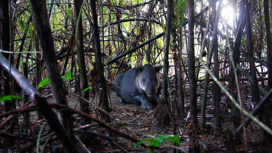 Un tapir descansa escondido entre la maleza durante las horas de más calor. De noche recorren kilómetros y kilómetros en busca de comida.