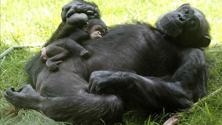 Chimpancés y orangutanes, capaces de recordar experiencias de hace tres años