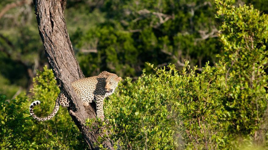 Un leopardo descansa en un árbol. Una de las estampas habituales del Parque Kruger. Will Sweet