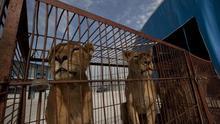 Castilla-La Mancha quiere prohibir circos con animales salvajes y sacrificio en perreras