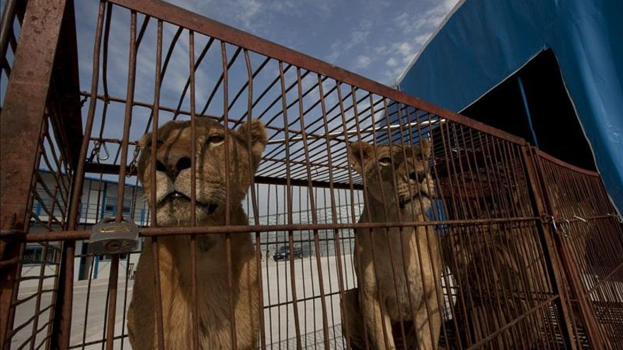 El Ayuntamiento de Zaragoza no permitirá los circos con animales