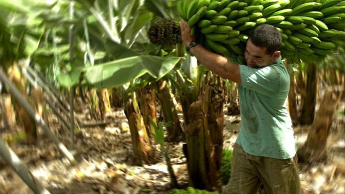 Corte y transporte de plátanos en una finca de Canarias.