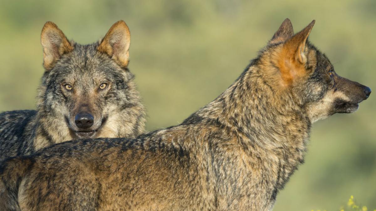 Fotograma de lobos en 'Barbacana, la huella del lobo'