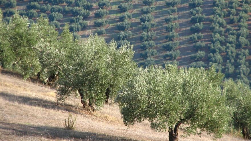 Caja Rural e Ifapa presentan las últimas novedades en el cultivo del olivar