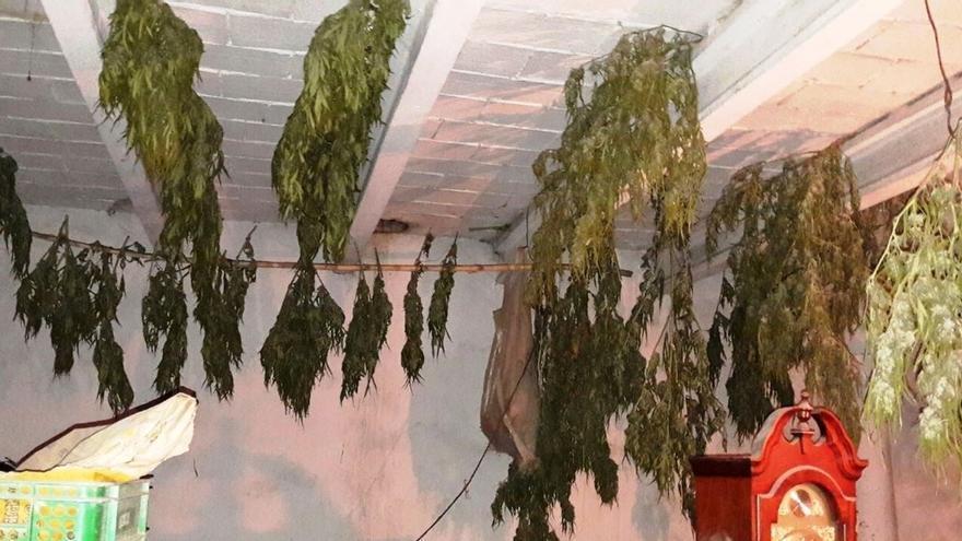 Detenido un joven en Cadreita con 60 plantas de marihuana