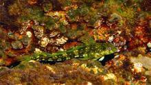 Ejemplares de un pez invasor habitan aguas de la costa de Garachico