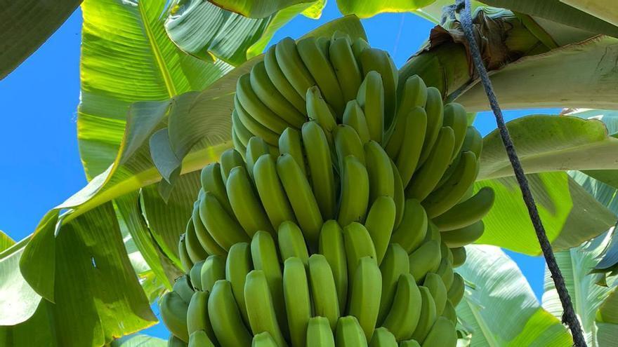 Plantación de plátano ecológico en Canarias
