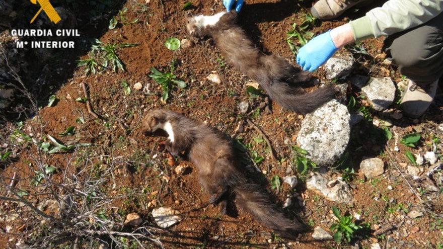 Investigados tres miembros de un coto de Íllora por la muerte de dos garduñas