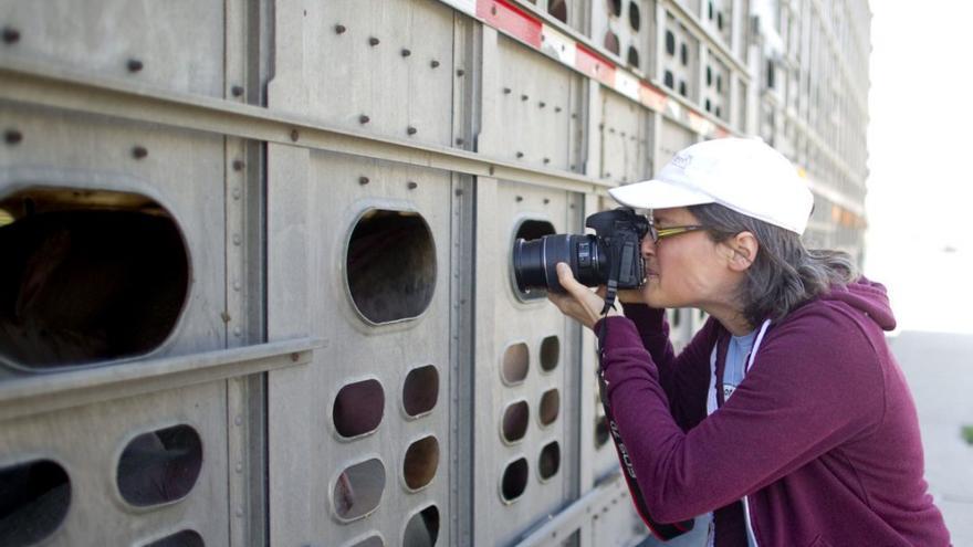 Anita Krajnc fotografiando el interior del camión que transporta a los cerdos al matadero. Foto: Toronto Pig Save