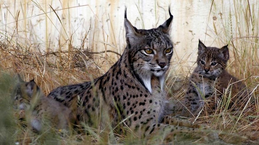 WWF felicita a Junta y resto de socios del 'Life Lynx Connect' de protección del lince por superar el examen de la UE