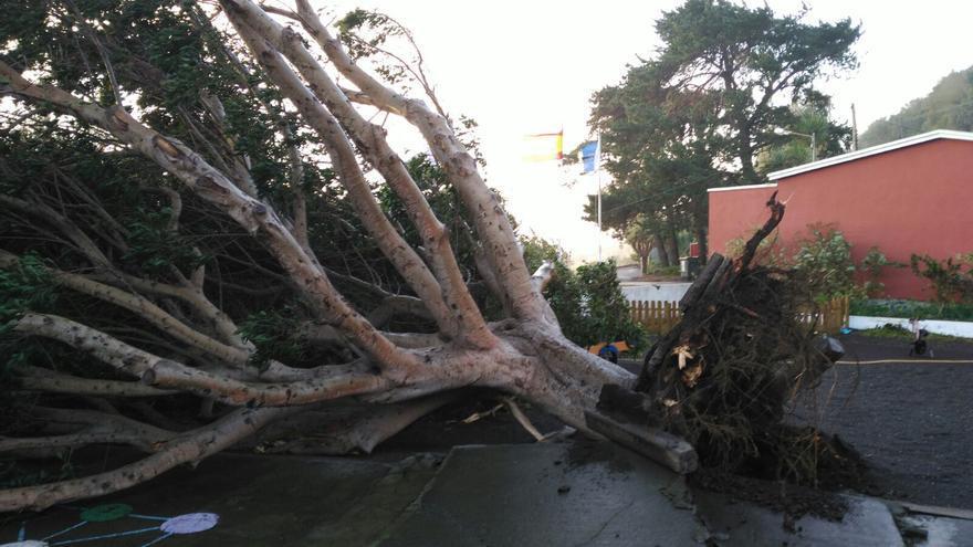 El centenario laurel de gran porte ha sido tumbado por el fuerte viento justo a la entrada de la Escuela Unitaria de Las Ledas (Breña Baja).