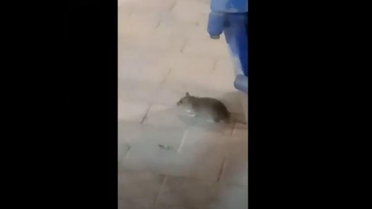 Ratas en la Plaza de España, en Las Palmas de Gran Canaria
