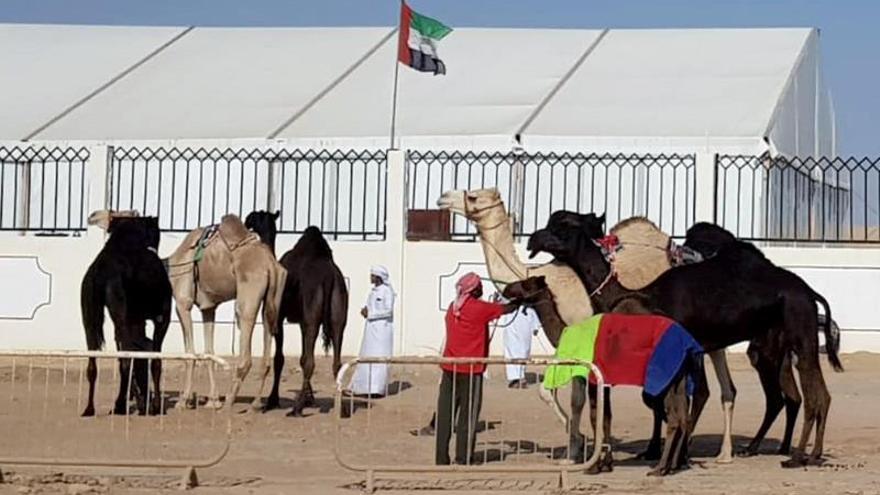 En busca del camello más bello en Catar en un certamen que escapa del bloqueo