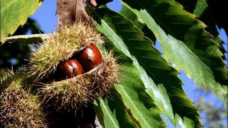 Un fruto de castaña a punto de eclosionar en una plantación onubense.