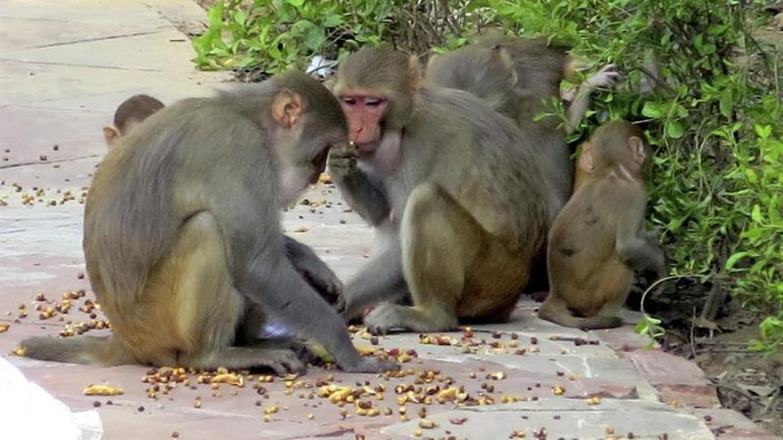 La India busca soluciones para su plaga crónica de monos