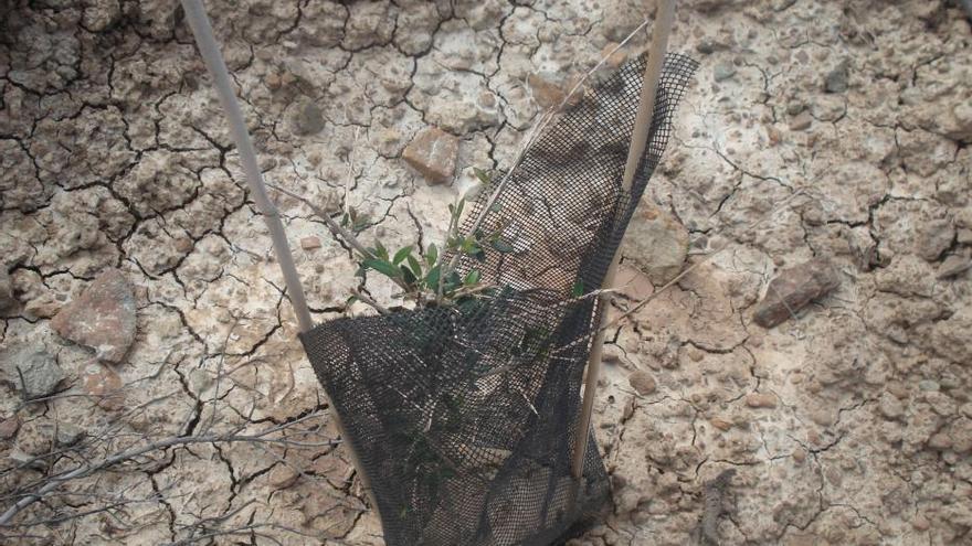Acebuche ramoneado (CANARIAS AHORA)