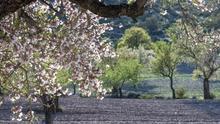Los precios de la almendra no dejan de caer mientras el consumo de frutos secos se ha disparado en el confinamiento
