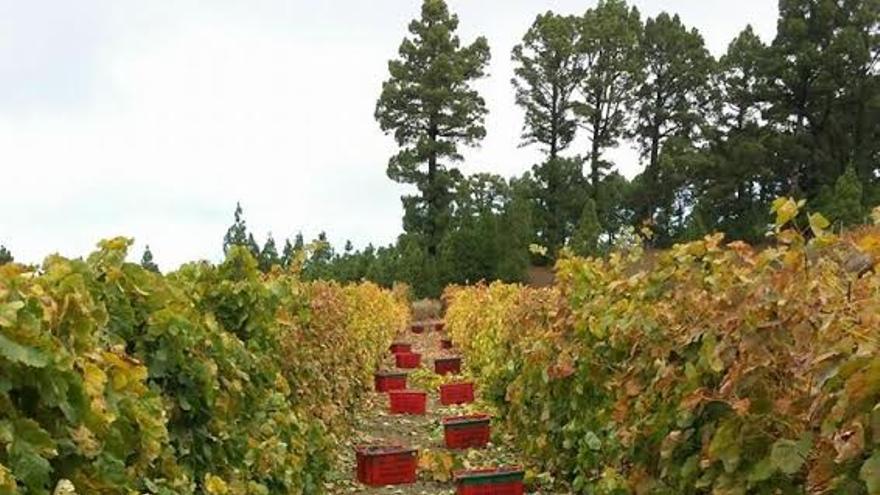 En La Palma, la cosecha de uvas de 2015  ha rondado 1.400.000 kilos, superando la de 2014 en 50.000 kilos, encontrándose por encima de la media de producción de los últimos 10 años, según el Consejo Regulador.