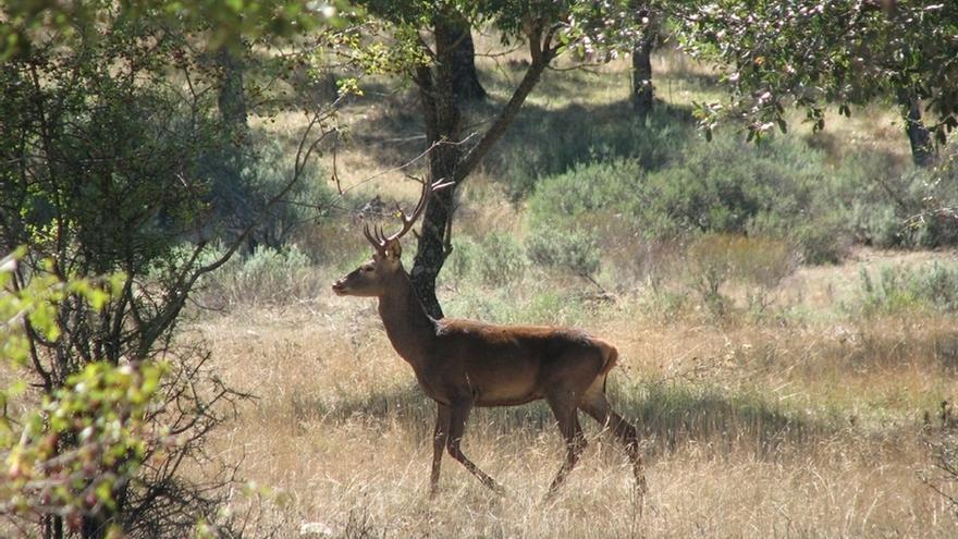 Junta intensifica la vigilancia en los cotos de caza para evitar el furtivismo en la época de berrea del ciervo